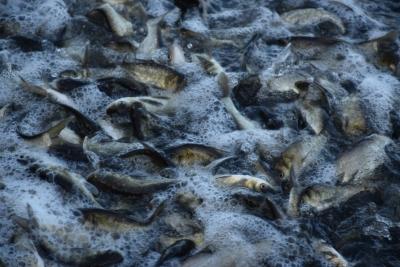 До водойм Одещини вселено 120 тонн молоді риб, ще 175 тонн - випустять до кінця року