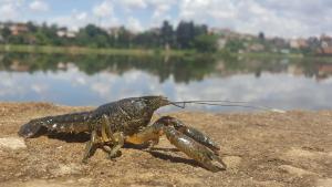 На річці Дунай та придунайський озерах дозволено промисловий та любительський вилов раків, – Одеський рибпатруль